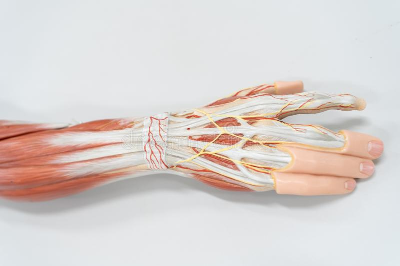 Muscles of the palm hand for anatomy education. Human physiology stock images