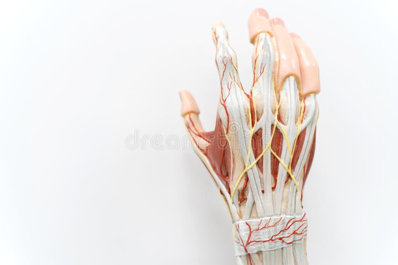 Muscles of the palm hand for anatomy education. Human physiology stock image