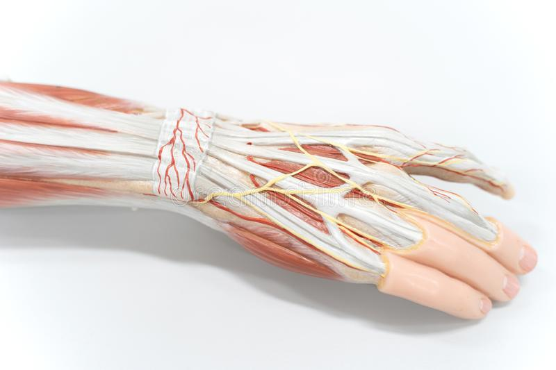 Muscles of the palm hand for anatomy education. Human physiology royalty free stock image