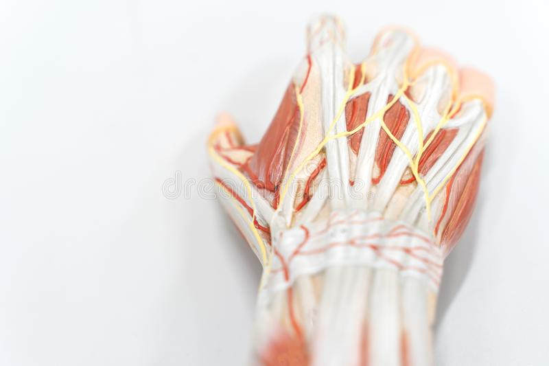 Muscles of the palm hand for anatomy education. Human physiology royalty free stock photography