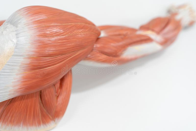 Muscles of the shoulder for anatomy education. Human phisiology stock image