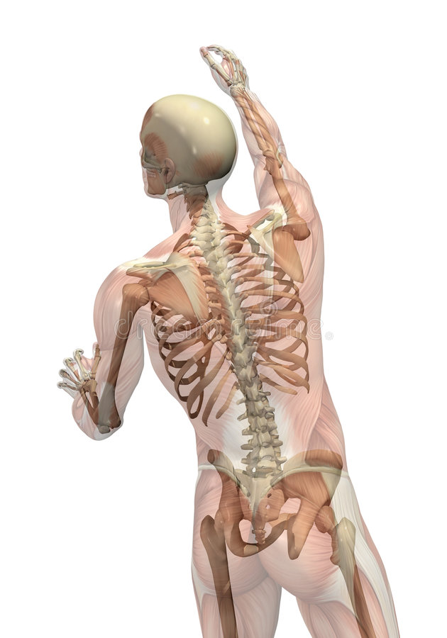 Download Muscles With Skeleton - Turning & Reaching Stock Photo - Image: 7877490