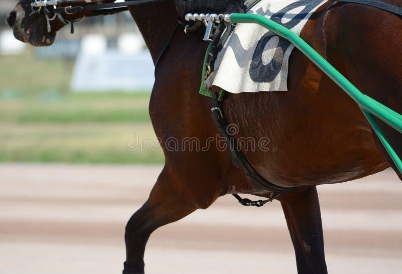 Muscles sur une race brune de trotteur de cheval Course de chevaux de harnais dans les détails images libres de droits