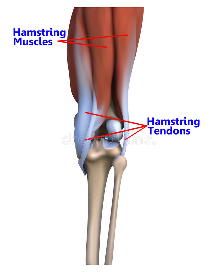 The Muscles And Tendons At The Back Of The Knee Stock Illustration ...