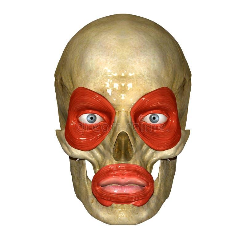 Muscoli del fronte illustrazione vettoriale