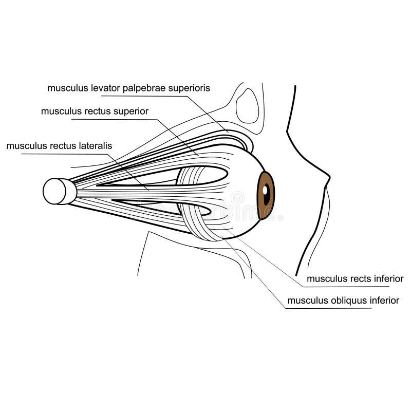 Muscoli dell'occhio illustrazione vettoriale