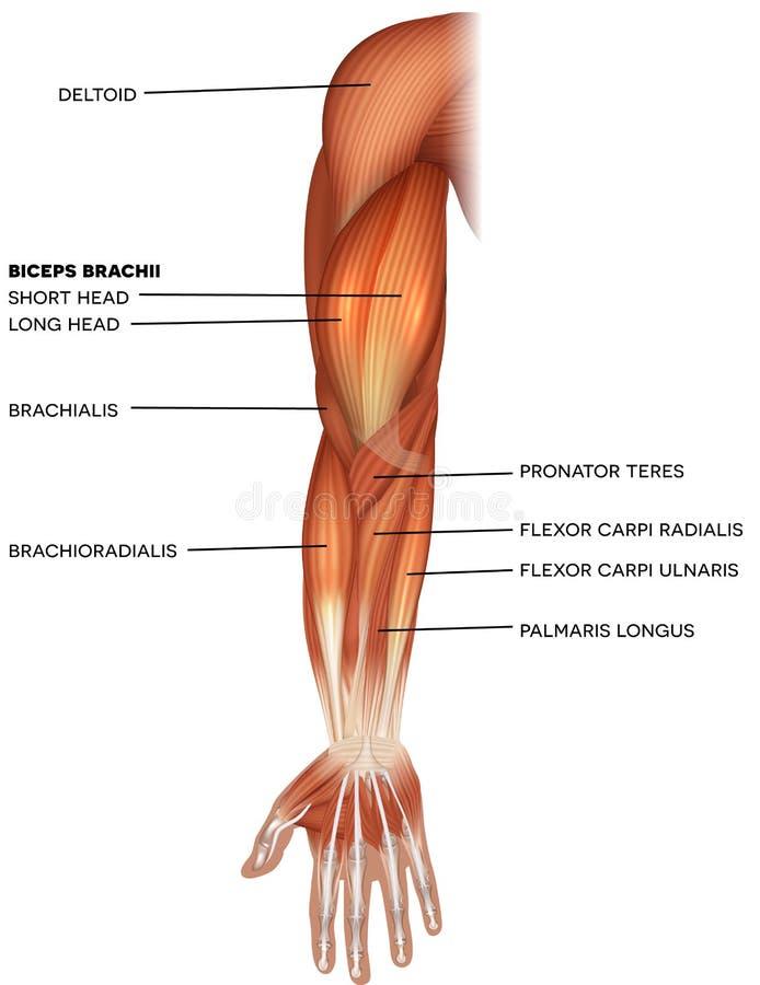 Muscoli della mano e del braccio royalty illustrazione gratis