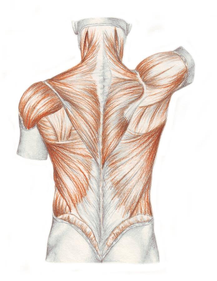 Muscoli della parte posteriore illustrazione vettoriale