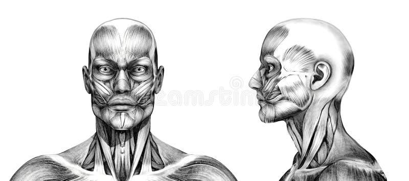 Muscoli della testa - stile dell'illustrazione di matita illustrazione di stock