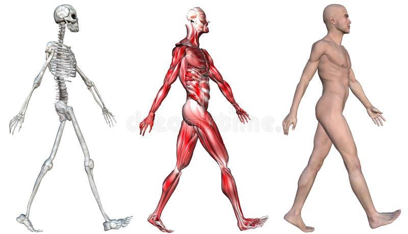 Muscoli di scheletro del maschio umano illustrazione vettoriale