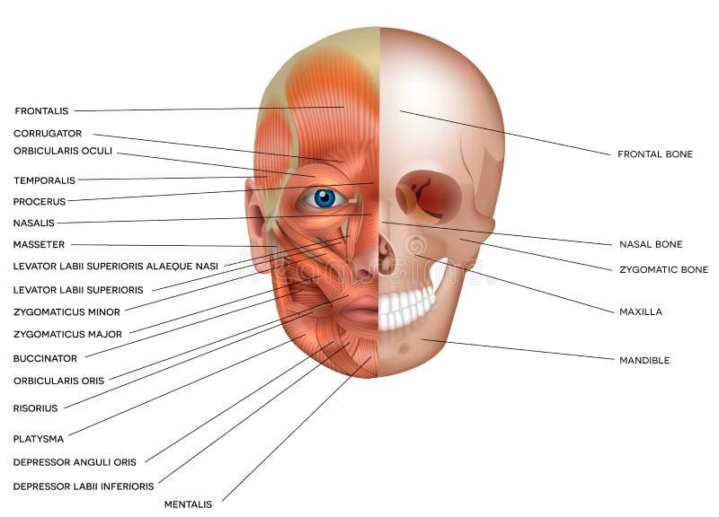 Muscoli ed ossa del fronte illustrazione vettoriale