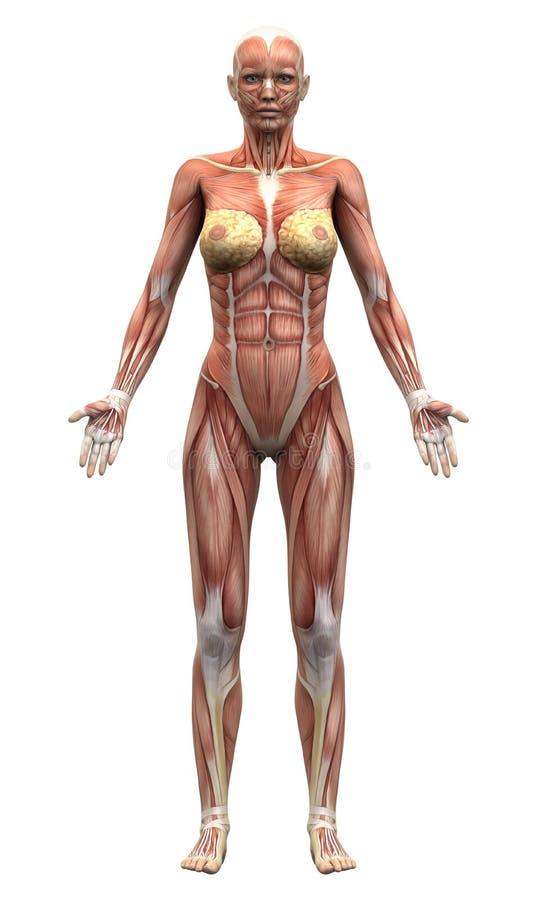 Muscoli femminili di anatomia - vista anteriore illustrazione vettoriale