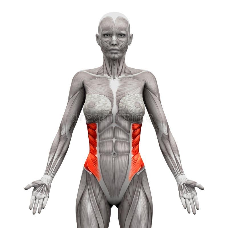 Muscoli obliqui esterni - muscoli di anatomia isolati su 3 bianco- illustrazione di stock