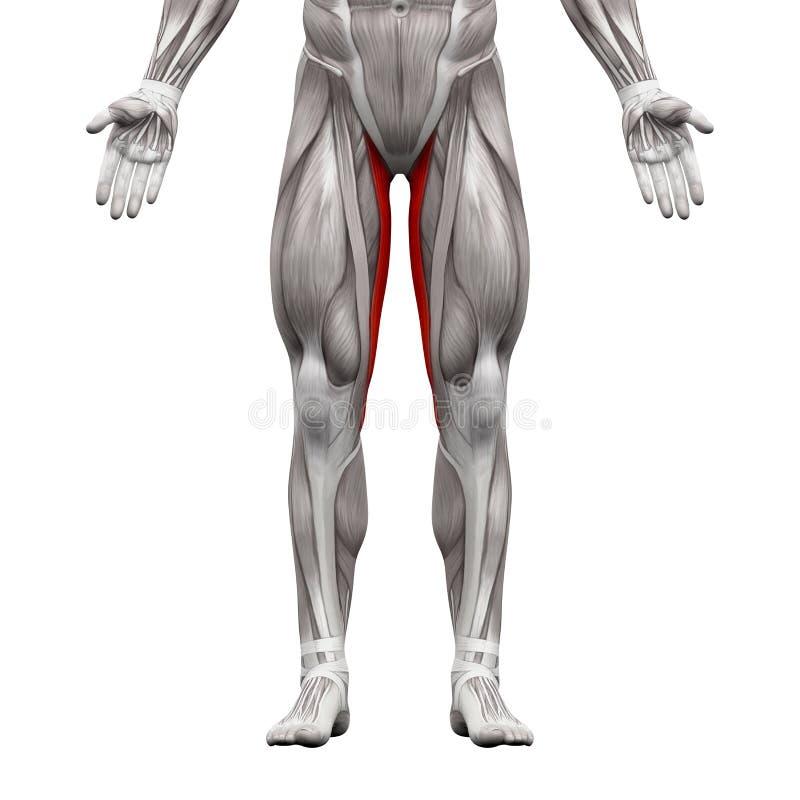 Muscolo gracilis - muscoli di anatomia isolati su illustr bianco- 3D illustrazione vettoriale