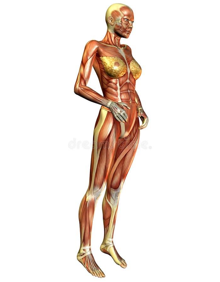Muscolo sopra il lato della donna illustrazione di stock