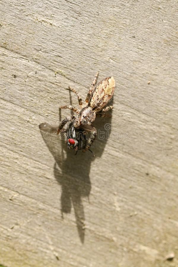 Muscosa Marpissa паука малого Загородк-столба скача садясь на насест на деревянной загородке с мухой в своих talons которые она к стоковое изображение
