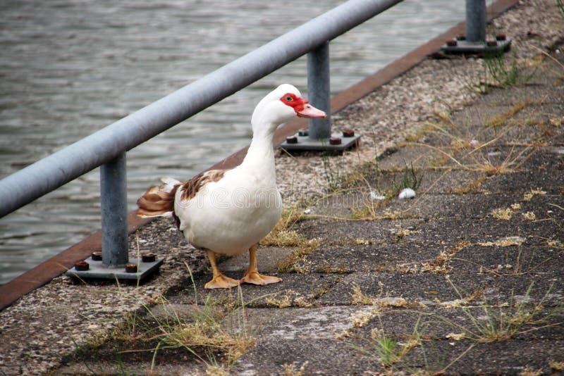 Muscovy abafa o pato ao longo do beira-rio do Hollandse IJssel em IJsselstein os Países Baixos fotos de stock