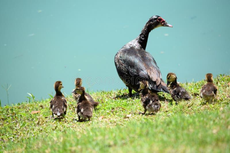 Muscovy Duck Baby Chicks och kvinnligmamma arkivbilder