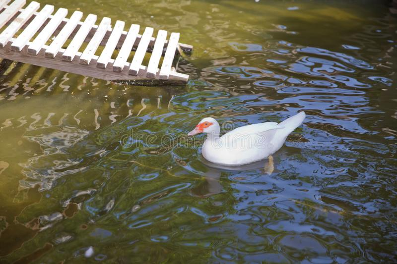 Muscovy duck, Cairina moschata, Anatidae, Anseriformes . His head is a white duck. a mute duck cairina moschata rests on. His head is a white duck. a mute duck royalty free stock photo