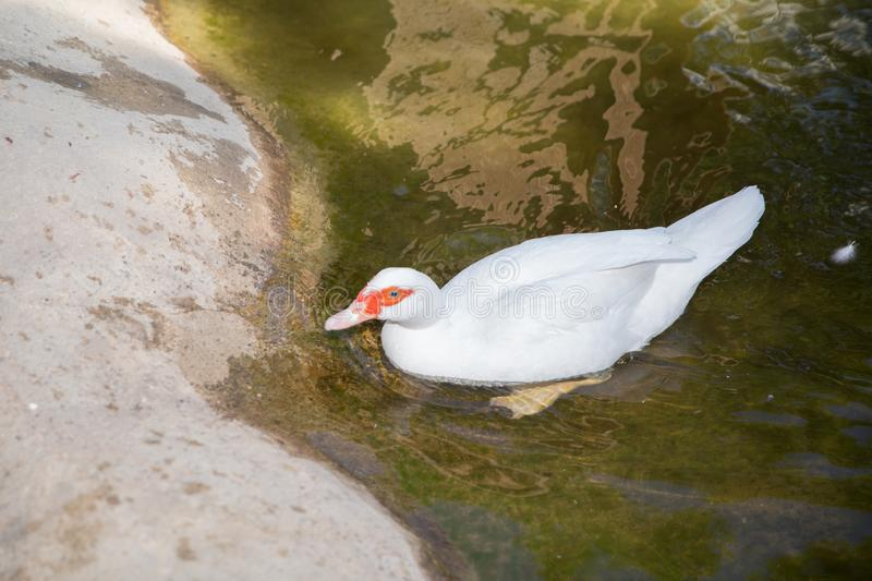 Muscovy duck, Cairina moschata, Anatidae, Anseriformes . His head is a white duck. a mute duck cairina moschata rests on. His head is a white duck. a mute duck royalty free stock photos