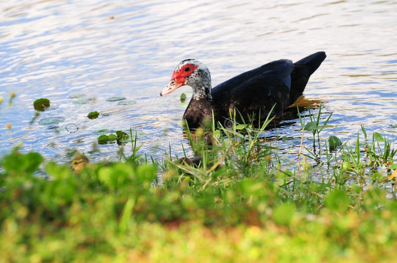 Muscovy duck and ducklings. Mother Muscovy duck checking on her ducklings in a lake of a South Florida golf course royalty free stock images