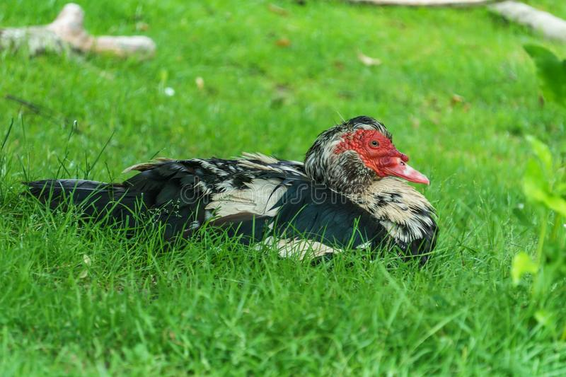 The Muscovy Duck lying on green grass. stock image