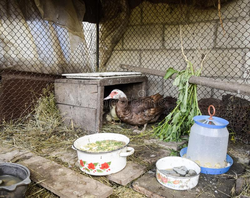Muscovy duck mother with ducklings. Ducklings of a musky duck. Ducklings of a musky duck in the shelter with hay on a floor and a box for a lodging for the stock photo