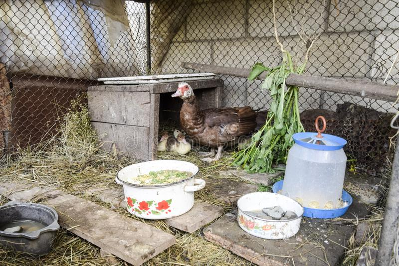 Muscovy duck mother with ducklings. Ducklings of a musky duck. Ducklings of a musky duck in the shelter with hay on a floor and a box for a lodging for the royalty free stock photography