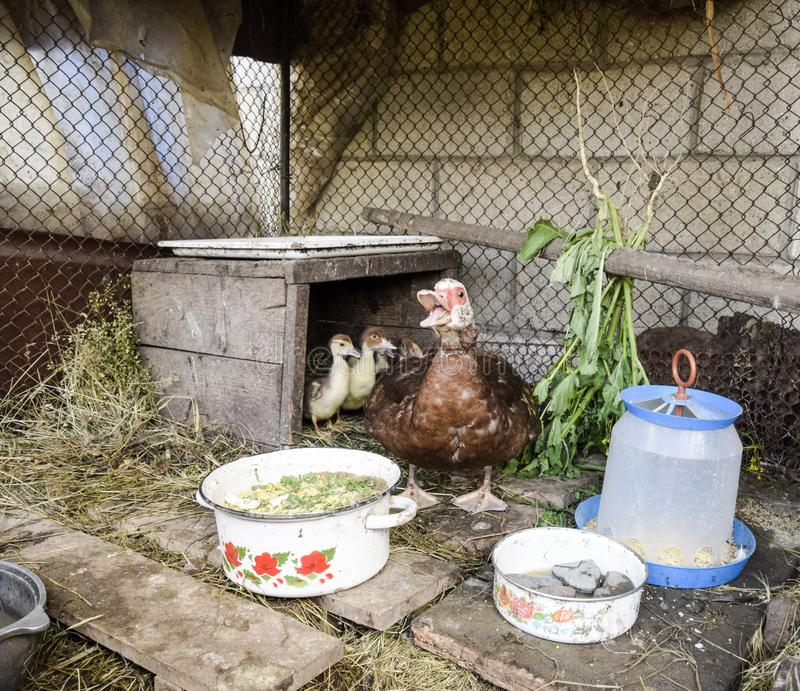 Muscovy duck mother with ducklings. Ducklings of a musky duck. Ducklings of a musky duck in the shelter with hay on a floor and a box for a lodging for the stock image