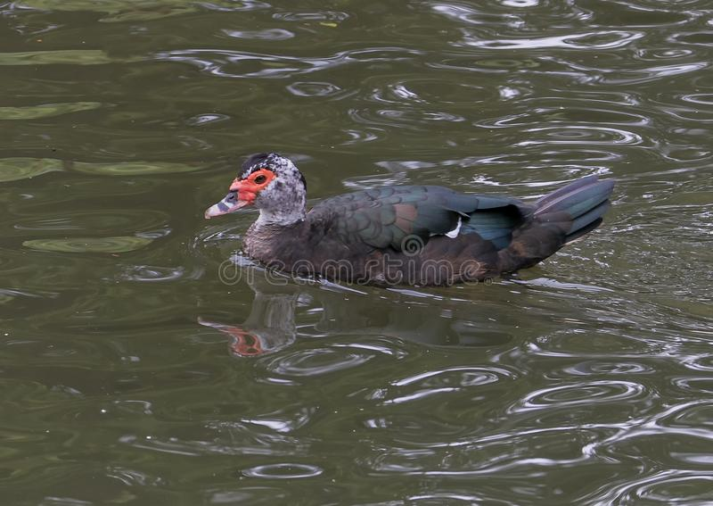 Muscovy Duck swimming in Turtle Creek in Dallas, Texas stock photos