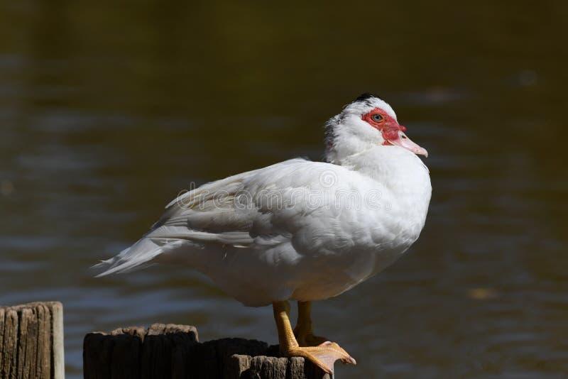 Muscovy kaczka na słupie w słońcu zdjęcia stock