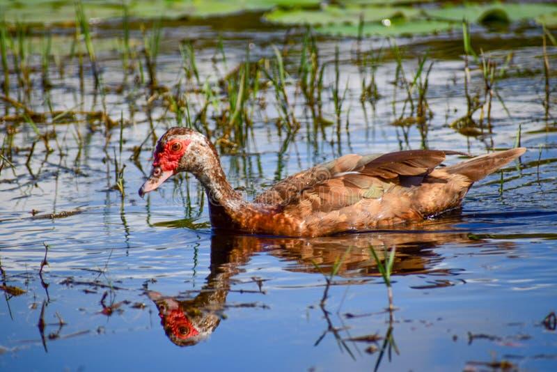 Muscovy kaczka na stawie z odbiciem zdjęcie royalty free