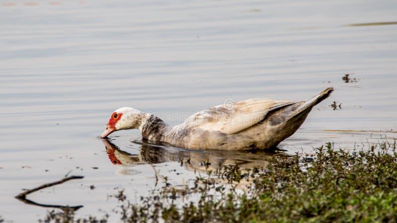 Muscovy kaczka w wodzie, jezioro przy hamakami, Kendall, Florid zdjęcia stock