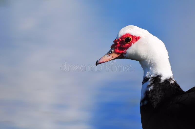 Muscovy kaczki portret fotografia stock