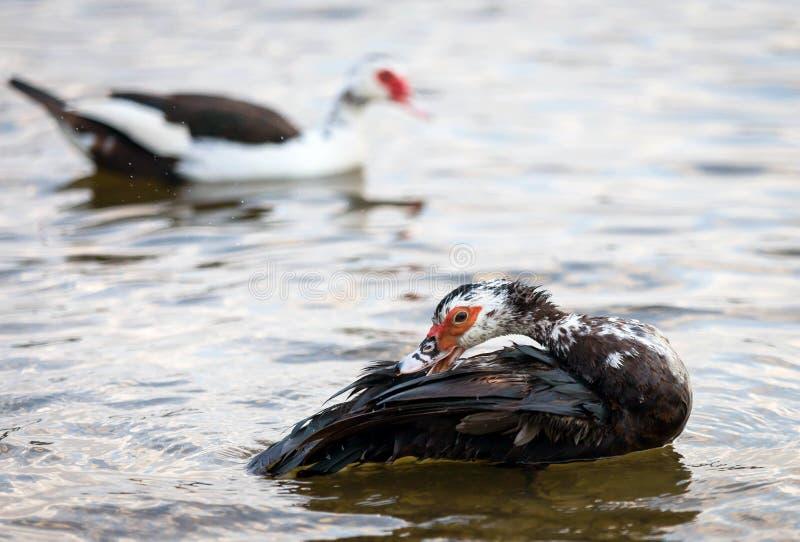 Muscovy kaczki Preening obrazy stock