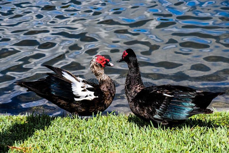 Muscovy kaczki Spotyka przy stawem zdjęcia stock