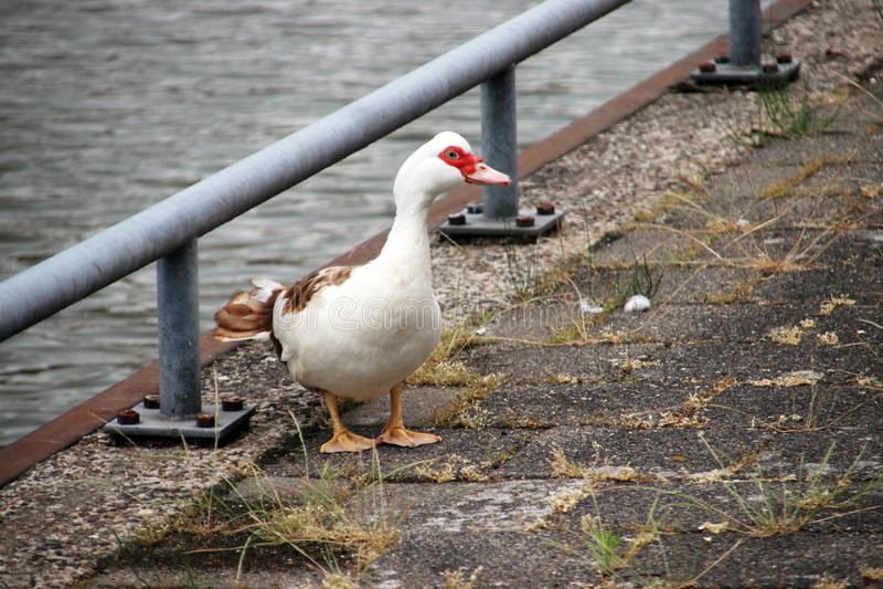 Muscovy mute duck along the riverside of the Hollandse IJssel in IJsselstein the Netherlands. Muscovy mute duck along the riverside of the Hollandse IJssel in stock photos