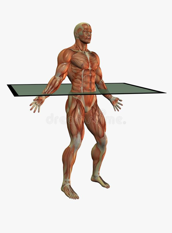 Download Muscular anatomical male stock illustration. Image of muscular - 13082984