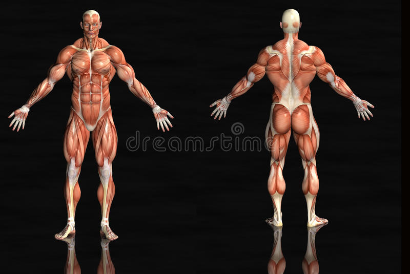Download Muscular anatomical man stock illustration. Image of background - 13139714