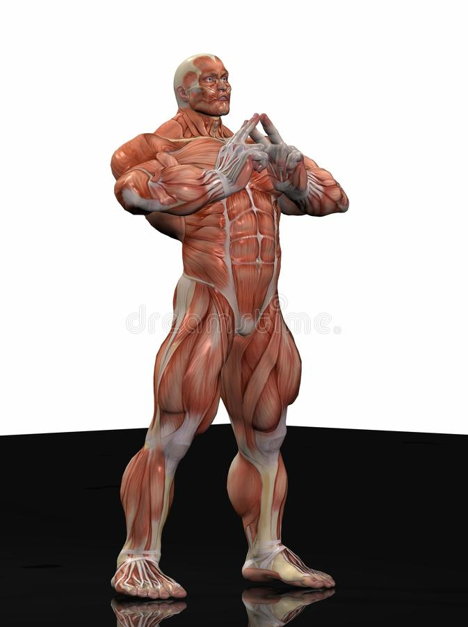 Download Muscular anatomical man stock illustration. Image of muscles - 13243928