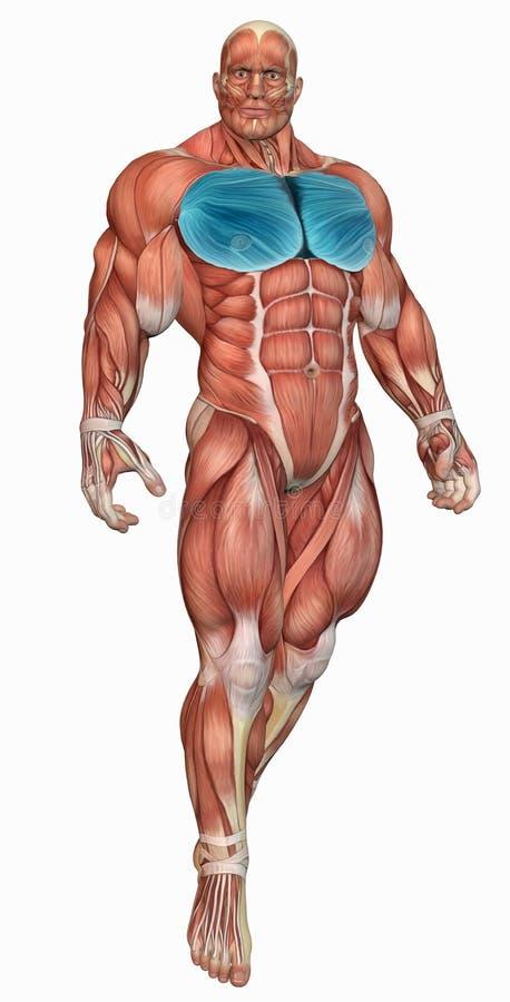 Download Muscular anatomical man stock illustration. Illustration of dimensional - 24938070