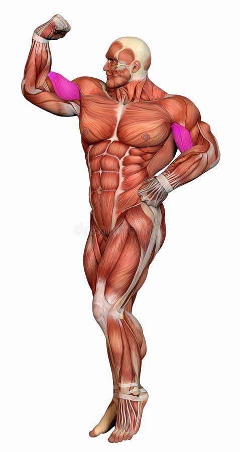 Download Muscular Anatomical Man Stock Images - Image: 26836894