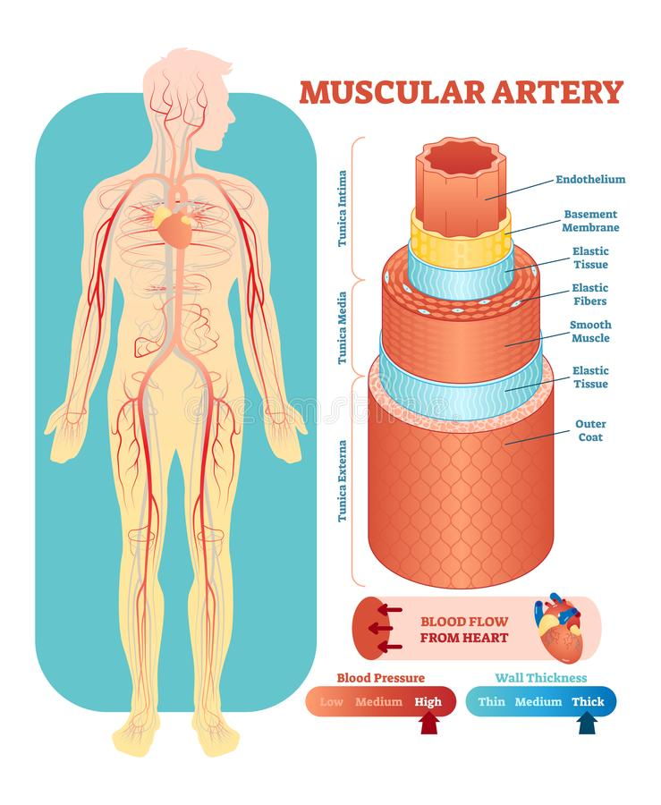 Muscular artery anatomical vector illustration cross section. Circulatory system blood vessel diagram scheme. Muscular artery anatomical vector illustration royalty free illustration