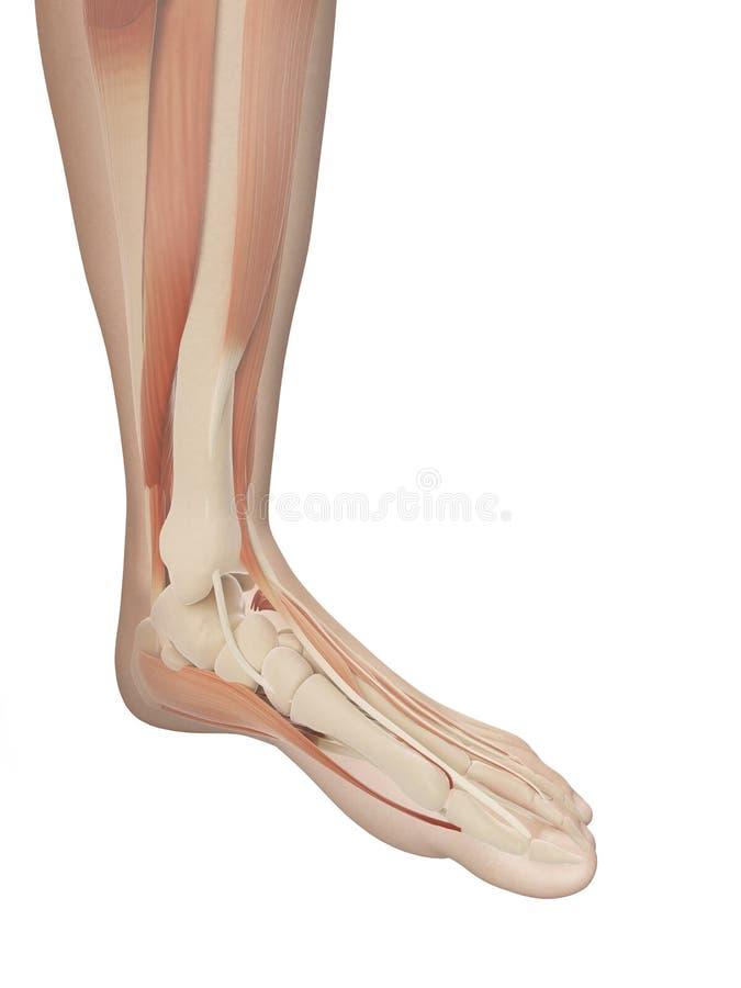 The muscular foot anatomy stock illustration