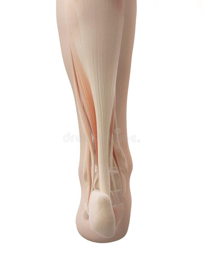 muscular foot anatomy vector illustration