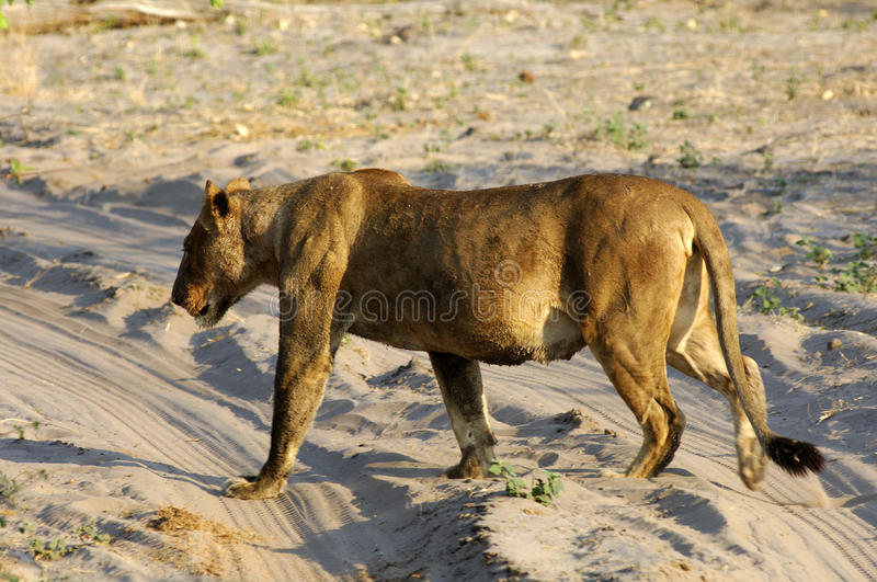 Muscular lioness stock photo. Image of photo, lion, entire ...