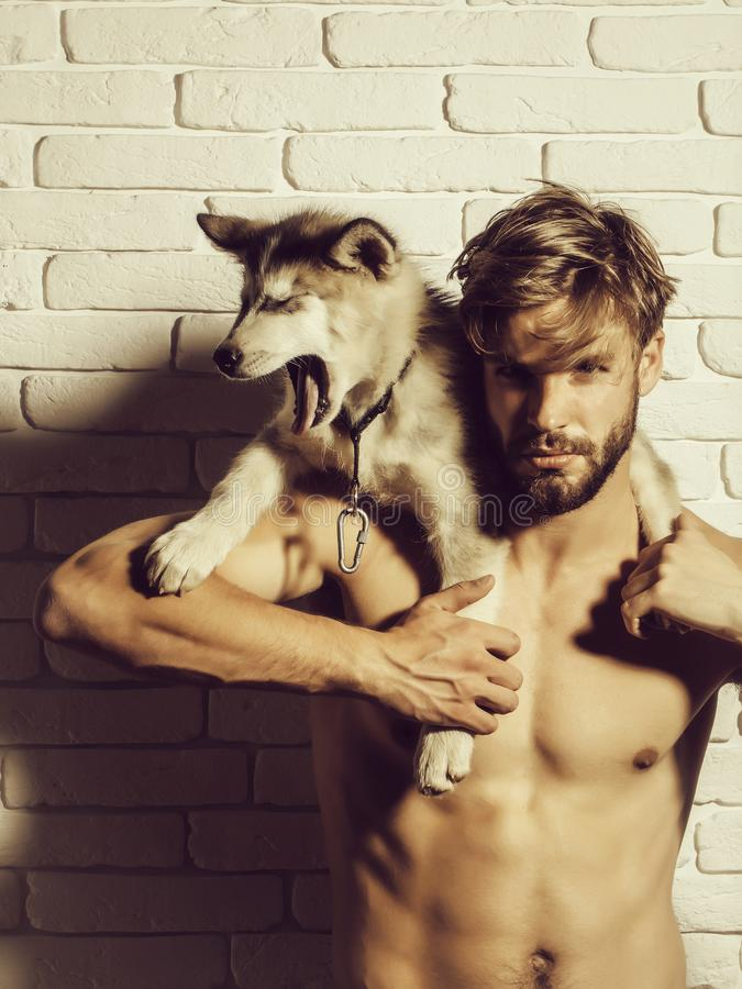 Muscular man with body holds husky dogs, puppy pets. Handsome muscular man or bearded macho guy with naked torso and body with cute dogs, puppy pets of husky royalty free stock photos