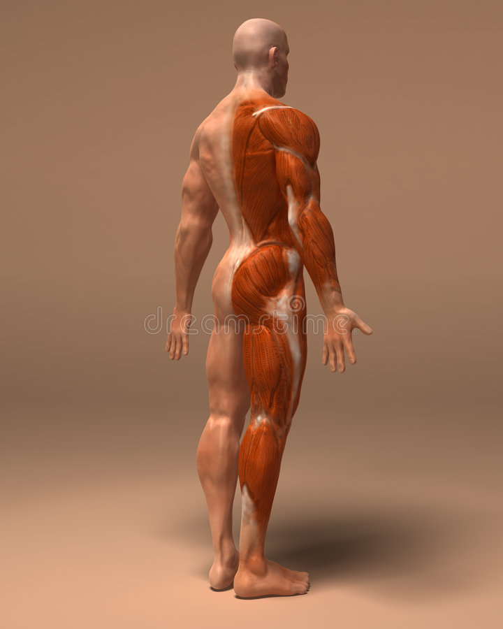 Download The Muscular System Stock Photography - Image: 5079392
