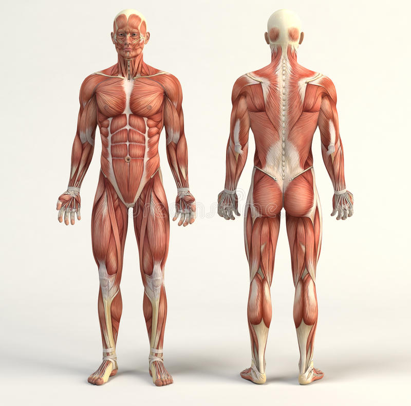 Free Muscular System Stock Image - 64241291