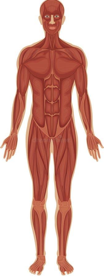 Muscular system royalty free illustration
